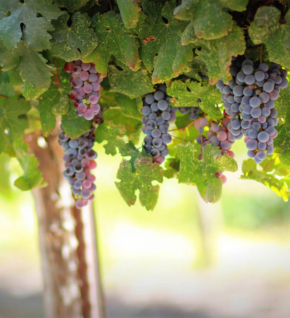 Grapes in Edna Valley