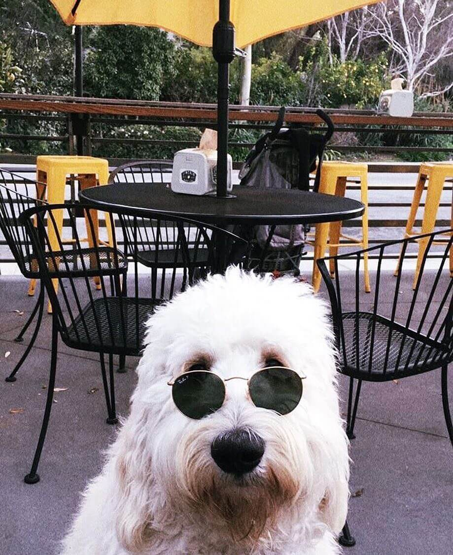 Oliver the goldendoodle with rayban sunglasses at Lincoln Market & Deli