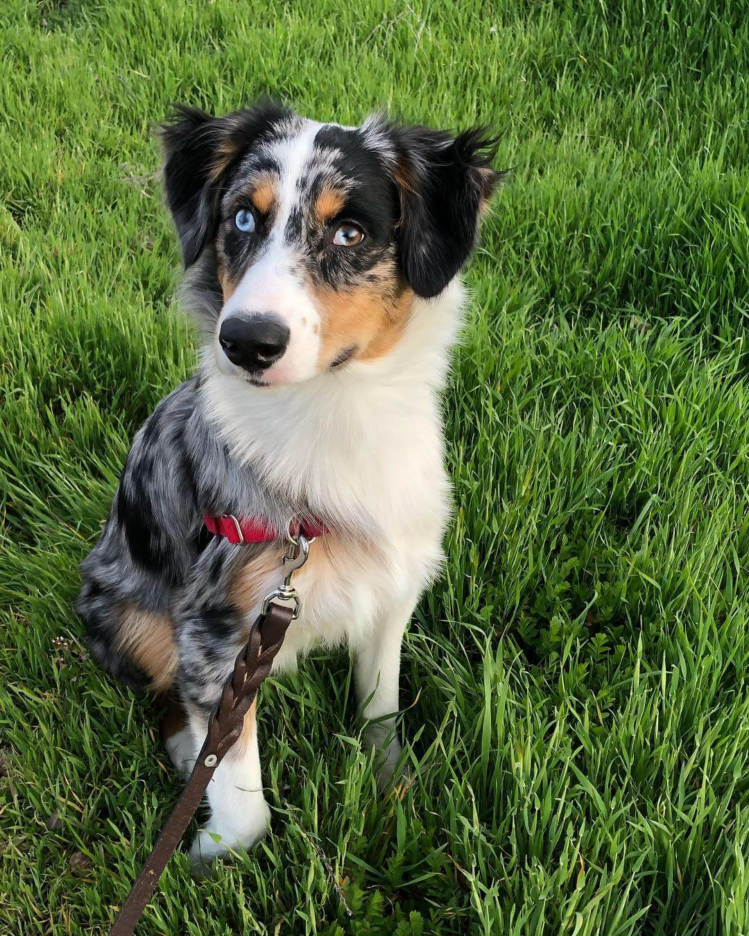 Australian Shepherd dog in the San Luis Obispo Grass