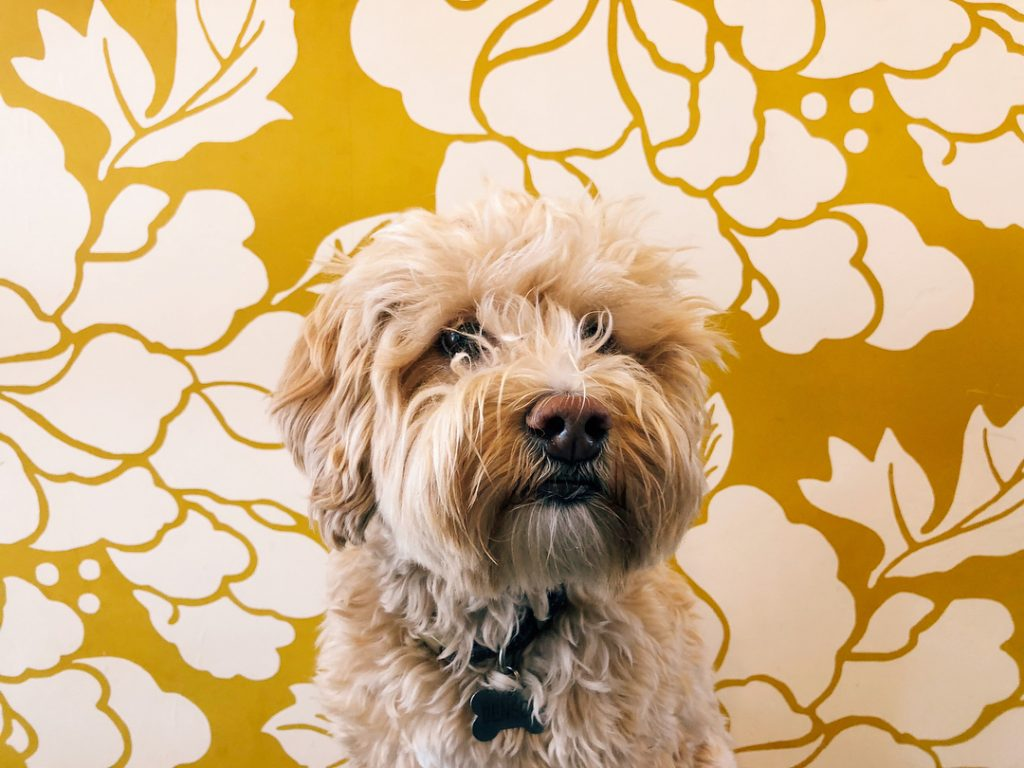 A furry dog in front of the yellow, floral print wall of Scout Coffee in San Luis Obispo. Photo by @cas_si.