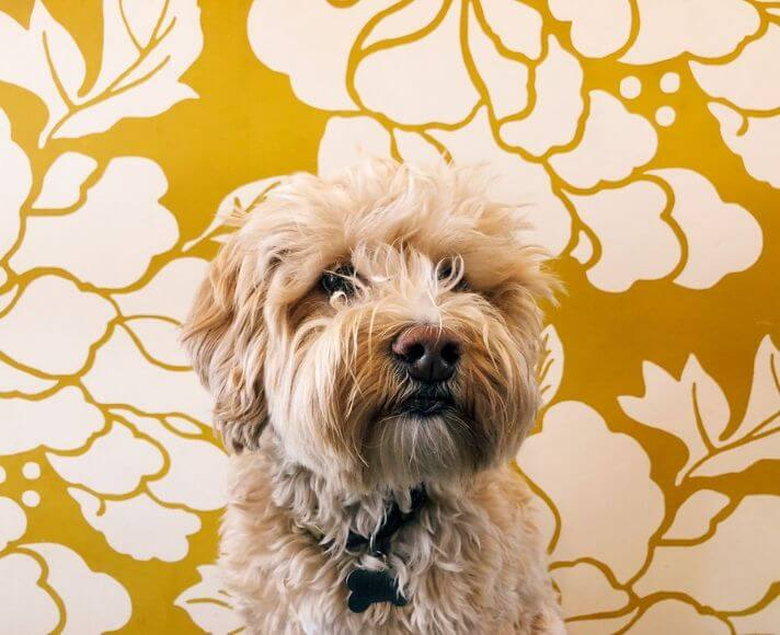 A furry dog in front of the yellow, floral print wall of Scout Coffee in San Luis Obispo. Featured Image by @cas_si.
